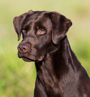 Hunting dog, Labrador retriever
